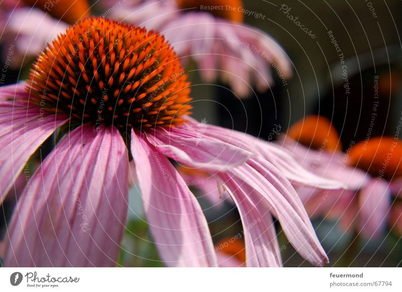 roter Sonnenhut Blume Pflanze rot Sommer Blüte Garten Blütenknospen Blütenblatt Stauden Sonnenhut