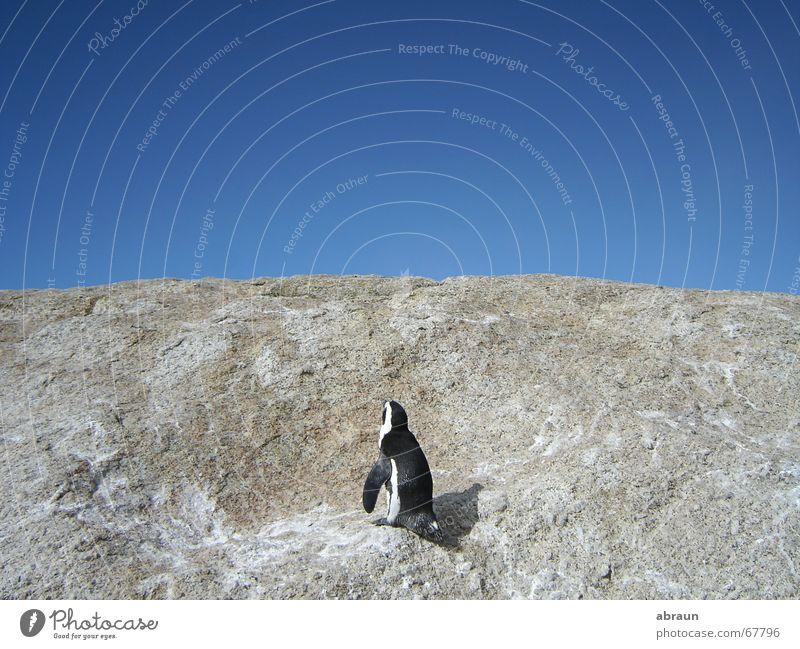 pinguin sucht wasser Himmel Meer blau oben Horizont Pinguin Südafrika Kapstadt