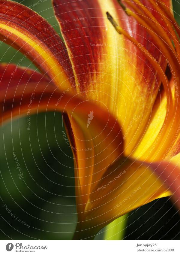 Lilie Lilien Sommer Physik gelb rot Garten Wärme Makroaufnahme Nahaufnahme