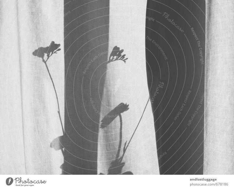 vorhang zu. Häusliches Leben Wohnung Innenarchitektur Dekoration & Verzierung Vorhang Gardine Fensterbrett Blüte Freesie Ranunkel Schatten verblüht ästhetisch