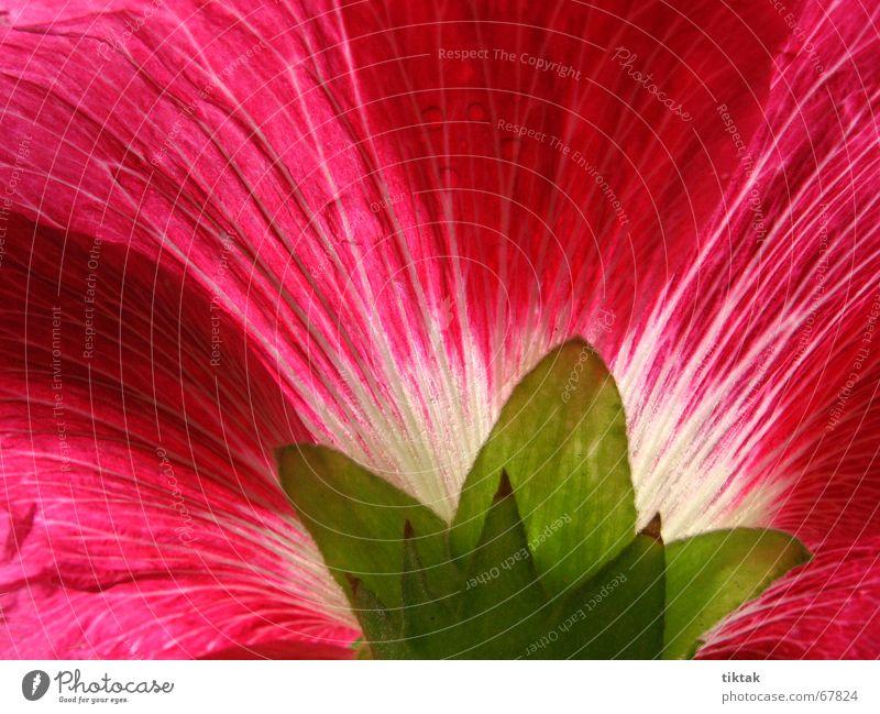 Stockrose Malvengewächse Blume Pflanze Blütenblatt Blumenbeet Gartenpflanzen Wachstum Blühend Botanik rot grün schön Bauerngarten Sommer Licht Beleuchtung