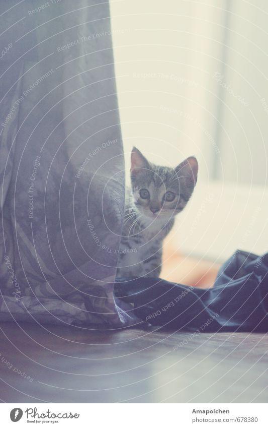 ::14-3:: Katze Tier Tierjunges Glück grau Wohnung Neugier entdecken Fell verstecken Haustier Geborgenheit Hauskatze Gardine Versteck Tiger