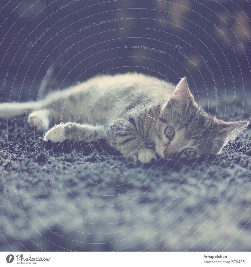 ::14-4:: Haustier Katze Tier Tierjunges liegen Augenfarbe Tierheim Blick Katzenauge Katzenbaby Teppich Wohnung Tierhandlung Hauskatze grau Tiger Tigerfellmuster