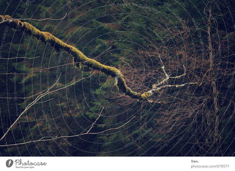 Hänsels Finger Natur Pflanze Herbst Baum Moos Ast Zweig Wald dunkel kalt gelb krumm Farbfoto Gedeckte Farben Außenaufnahme Detailaufnahme Menschenleer Abend