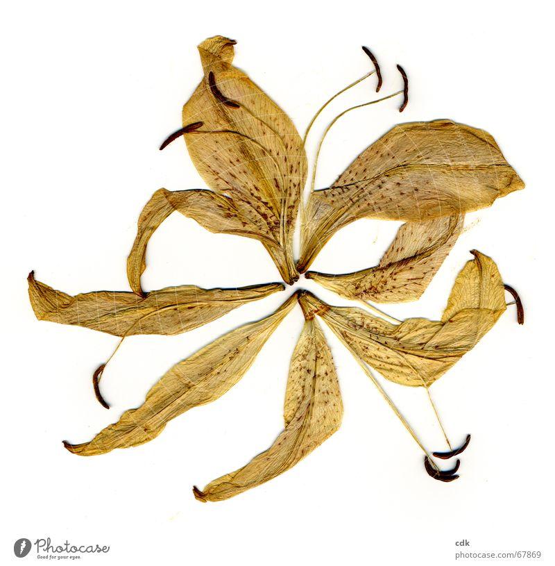 zerlegte Lilie Pflanze Blüte Blume getrocknet gepresst flach trocken Blütenblatt Staubfäden gelb Vogelperspektive zerbrechlich zart Verfall Vergänglichkeit