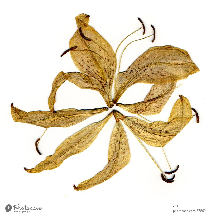 zerlegte Lilie schön Sonne Blume Pflanze Sommer gelb Farbe Leben Tod Blüte Vergänglichkeit zart schreiben Blühend verfallen Teile u. Stücke