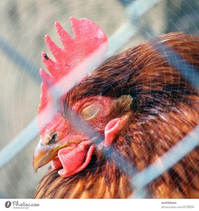 Eingesperrt Natur Sommer rot Tier Traurigkeit Auge Frühling grau natürlich braun schlafen Feder Zaun Tiergesicht gefangen Schnabel