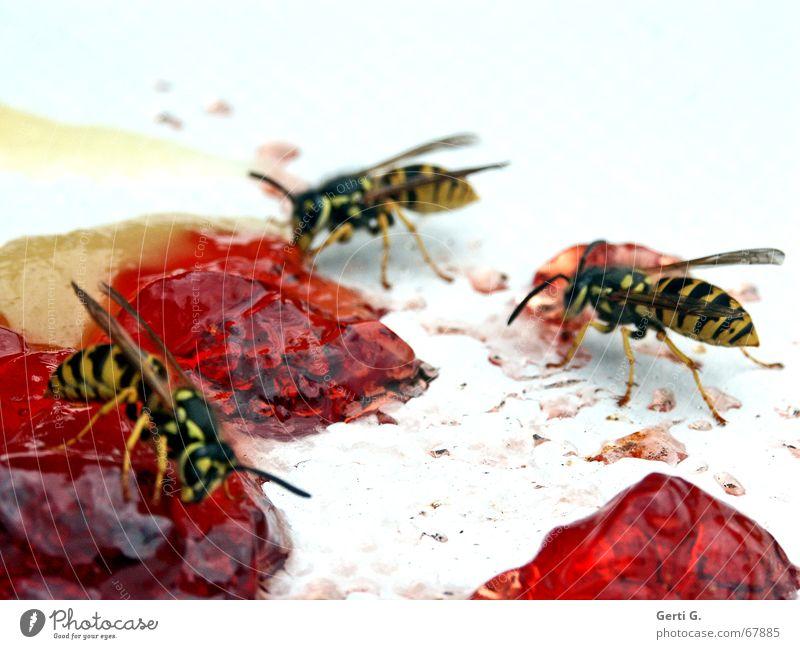 HURRA wir leben noch ! weiß rot Ernährung Tier Flügel Insekt Teller gestreift Stachel stechen Wespen Marmelade Bienenwaben Wespennest