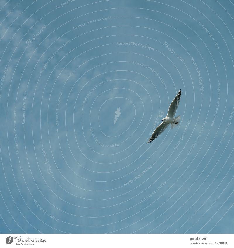 Gleitflug Umwelt Natur Himmel Wolkenloser Himmel Frühling Sommer Schönes Wetter Wind Tier Wildtier Vogel Tiergesicht Flügel Möwe Möwenvögel 1 fliegen ästhetisch