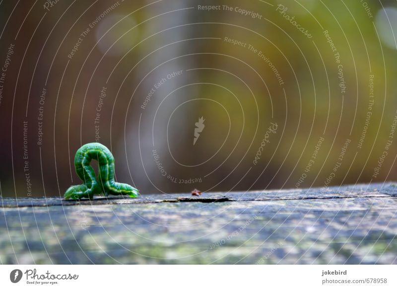 Omega Raupe Holz grün Wachstum krabbeln beweglich Farbfoto Außenaufnahme Menschenleer Textfreiraum rechts Textfreiraum oben Textfreiraum unten