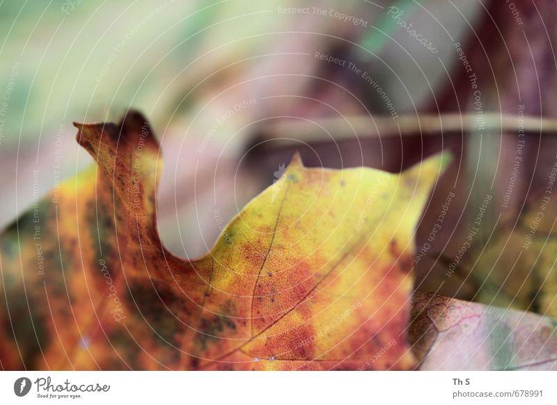 Blatt Umwelt Natur Pflanze Herbst verblüht ästhetisch elegant natürlich schön Gelassenheit harmonisch bunt Farbe Farbfoto Außenaufnahme
