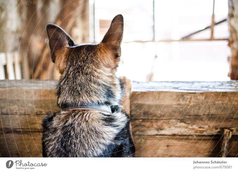 Halt die Ohren steif! Hund Tier schwarz Holz braun beobachten Neugier Landwirtschaft Dorf Hütte Konzentration entdecken hören Haustier Kontrolle Interesse