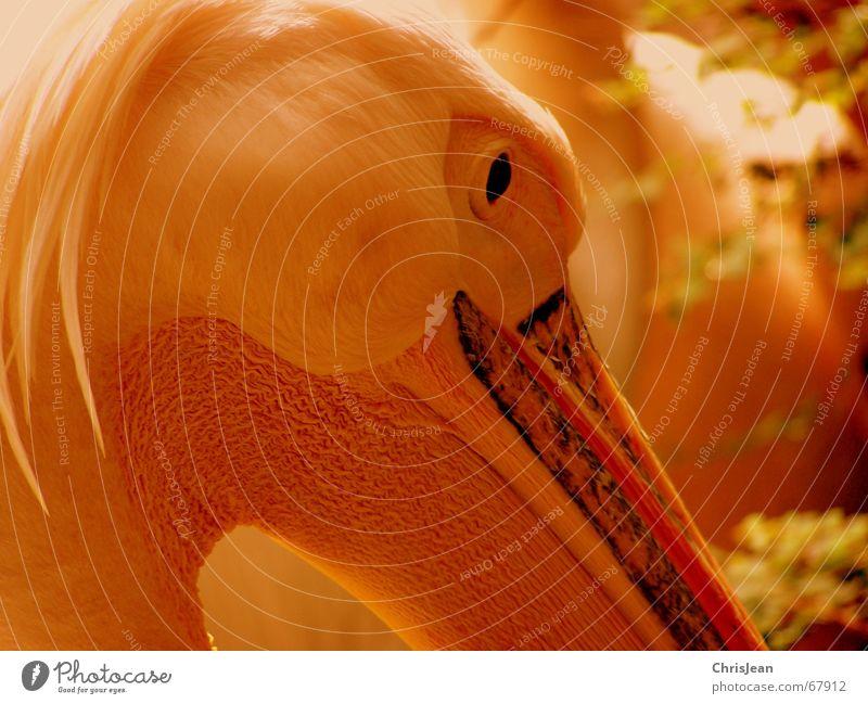 Pelikan Auge Tier Denken Vogel Feder Schnabel Stolz Pelikan Vogelauge Vogelkopf