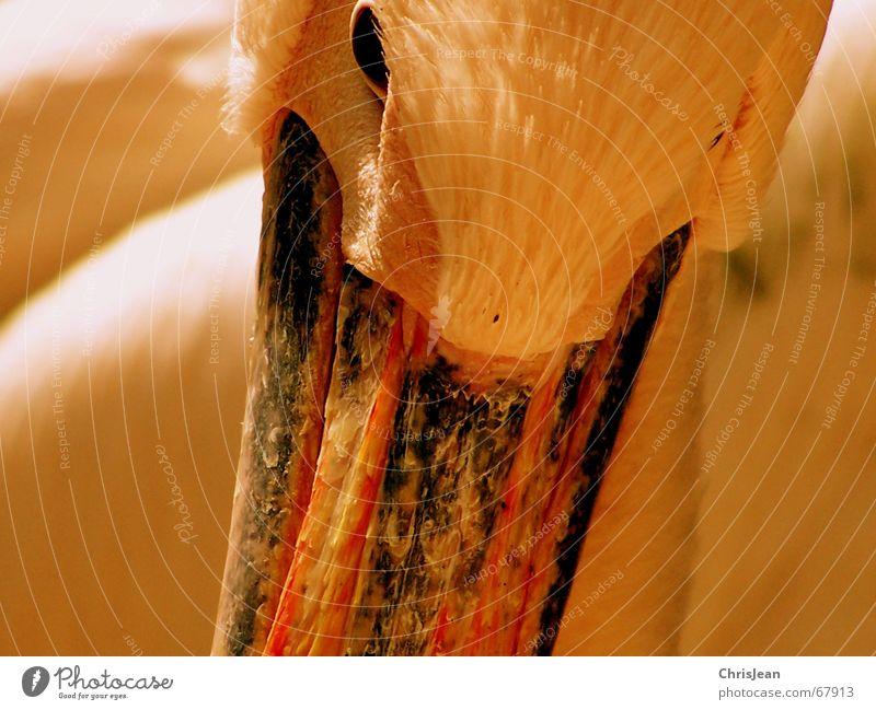 Zeitspuren alt Auge Tier Denken Vogel Feder Spuren Schnabel Stolz Lebenslauf Pelikan Vogelauge Vogelkopf
