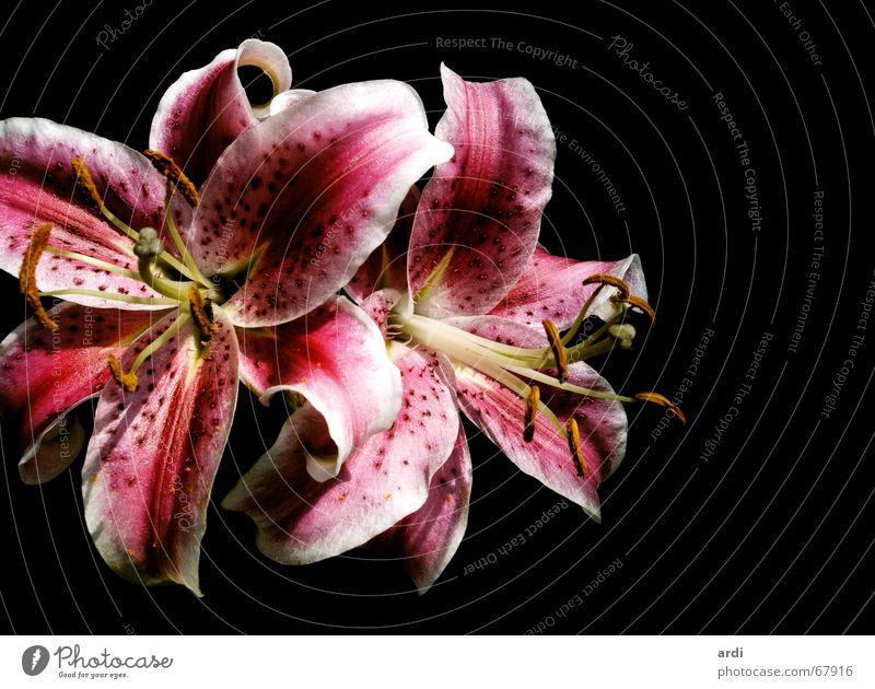 zarte Formen Lilien Blume Pflanze Blüte schön Zärtlichkeiten filigran zerbrechlich lieblich Spermien Blumenstrauß Gefühle Sense Natur Blühend Schatten Samen