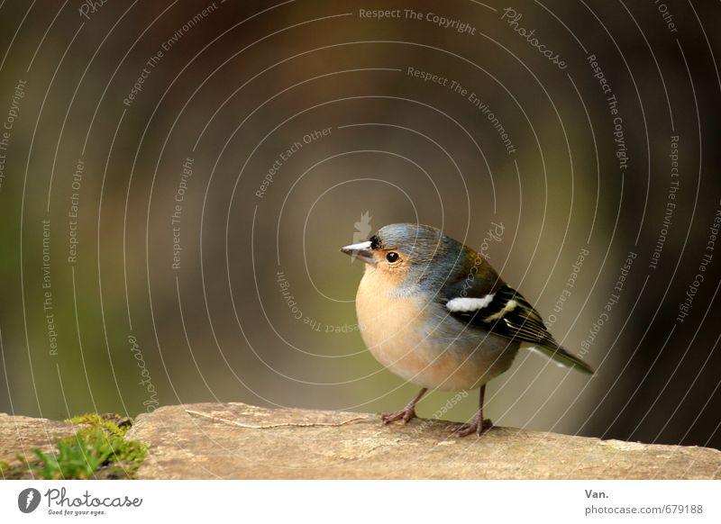Wen nennst du hier süß?? Natur Tier Moos Wildtier Vogel Buchfink 1 beobachten klein Neugier niedlich rund gelb Farbfoto mehrfarbig Außenaufnahme Nahaufnahme