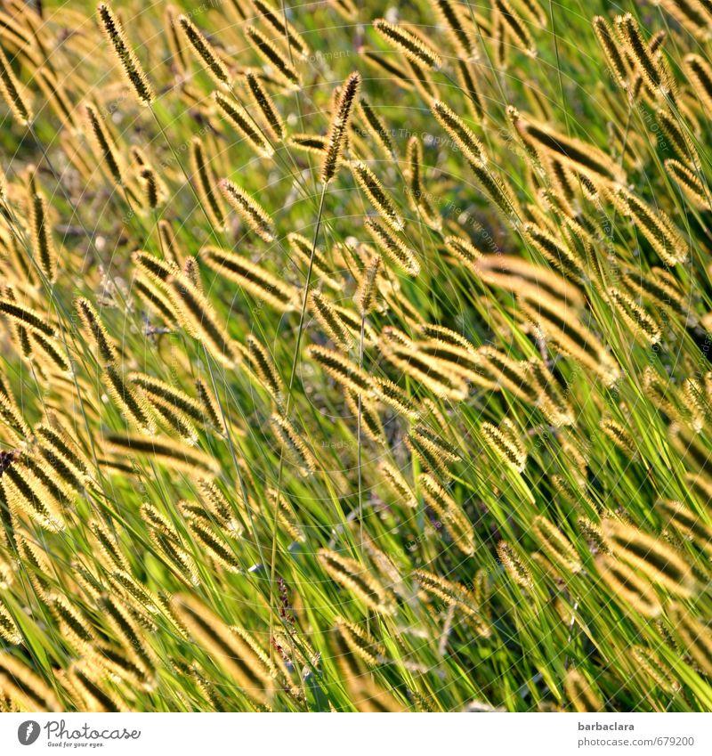 Glühwürmchenwiese Natur Pflanze Sommer Gras Wiese leuchten Wachstum frisch hell viele gelb gold grün Stimmung Fröhlichkeit ästhetisch Bewegung Farbe