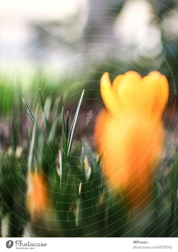 backfocus Umwelt Natur Schönes Wetter Pflanze Gras Blatt Grünpflanze Garten Wiese Duft schön saftig gold grün Frühling Bodenbelag Frühlingsblumenbeet Unschärfe
