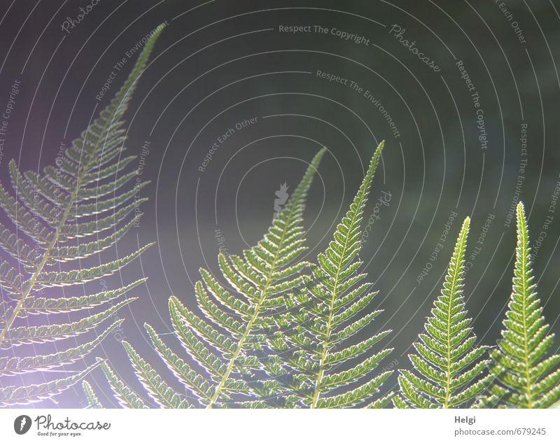 Farn im Licht... Umwelt Natur Pflanze Sommer Schönes Wetter Blatt Grünpflanze leuchten Wachstum ästhetisch außergewöhnlich schön natürlich grau grün Stimmung
