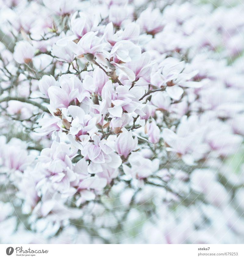 Frühling im Überfluss Pflanze Baum Blüte Magnolienbaum Magnolienblüte Blühend hell rosa weiß üppig (Wuchs) eng prächtig Gedeckte Farben Außenaufnahme