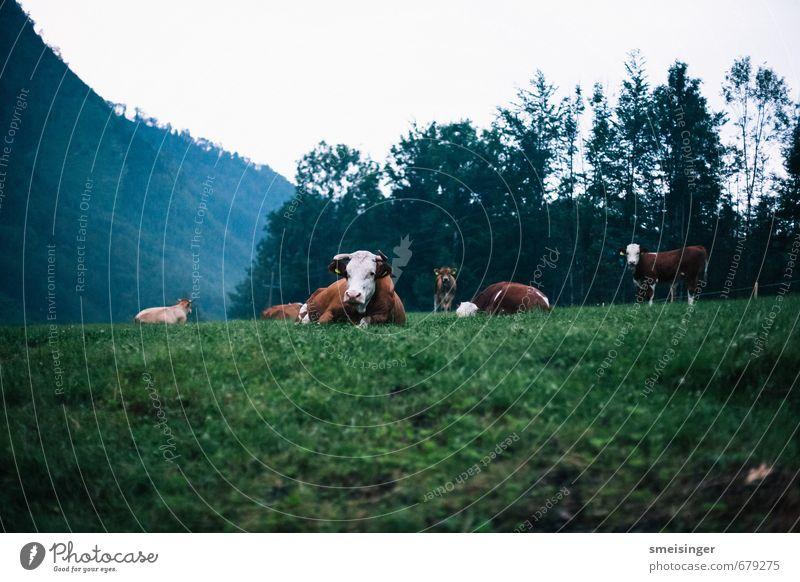Kuh im Morgengrauen Erholung Berge u. Gebirge wandern Umwelt Natur Tier Gras Feld Alpen Nutztier Tiergruppe Herde Schwarm Tierfamilie liegen frei Freundlichkeit