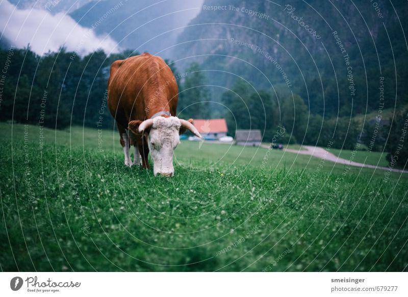 Natur blau grün Tier Berge u. Gebirge Gras Essen braun Idylle wandern Alpen Landwirtschaft Frieden Gelassenheit Bauernhof Kuh