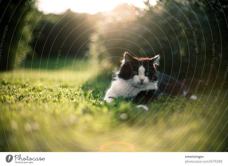 Katze Natur grün Sommer Sonne Erholung Tier Wärme Gras Frühling Garten Park Idylle Sträucher niedlich Frieden