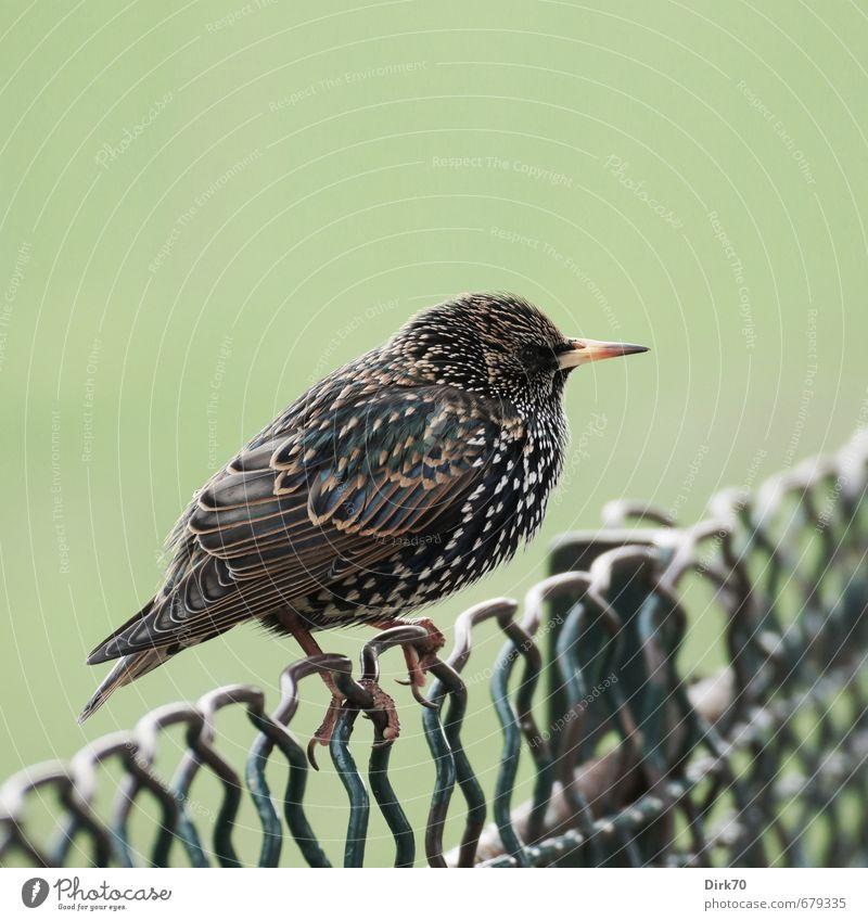 Maschendrahtzaun-König Winter Park Wiese Paris Tier Vogel Star 1 Zaun Drahtzaun Metall festhalten frieren hocken sitzen niedlich Spitze braun gelb grün schwarz