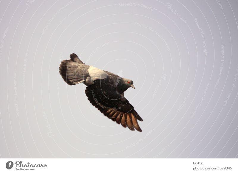 da unten Natur Luft Himmel Tier Vogel Taube Flügel 1 fliegen Geschwindigkeit braun grau weiß zeigt zeigen Blick nach unten Farbfoto Außenaufnahme Menschenleer