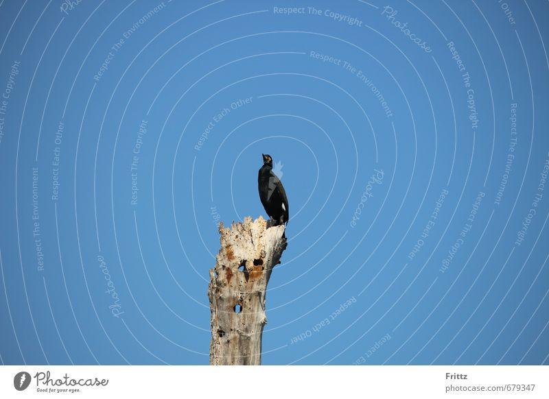 Kormoran Himmel Natur blau Baum Tier schwarz oben Luft Vogel sitzen frei Wildtier hoch Schönes Wetter Flügel Wolkenloser Himmel