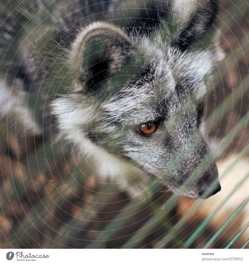 Gefangen Tier Wildtier Zoo 1 beobachten Blick Neugier wild grau Tierliebe Gitter Zaun Wolf Auge Farbfoto Außenaufnahme Nahaufnahme Menschenleer Tag