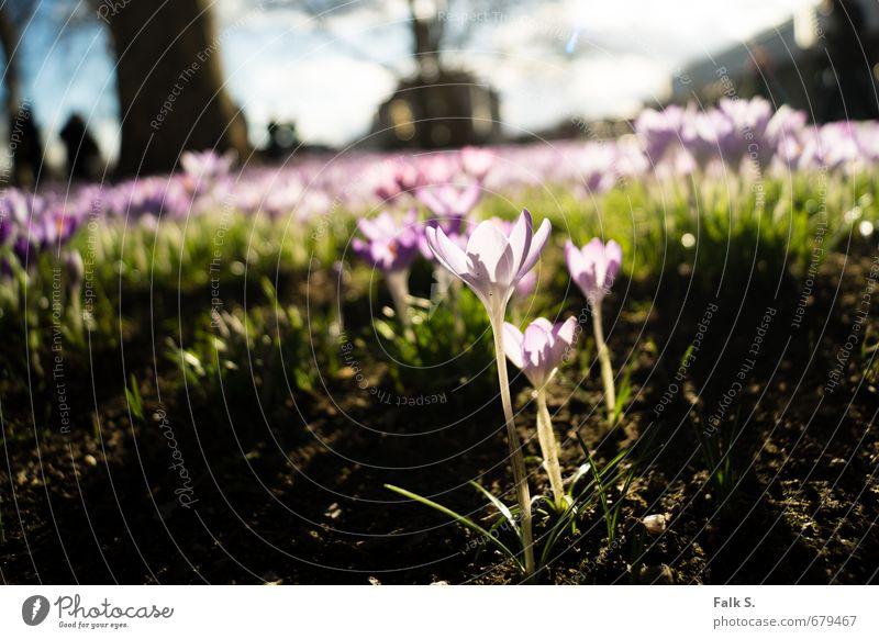 Frühlingserwachen Umwelt Natur Pflanze Erde Himmel Wolken Horizont Sonnenlicht Schönes Wetter Blume Blüte Wildpflanze Krokusse Frühblüher Blumenwiese Park Wiese