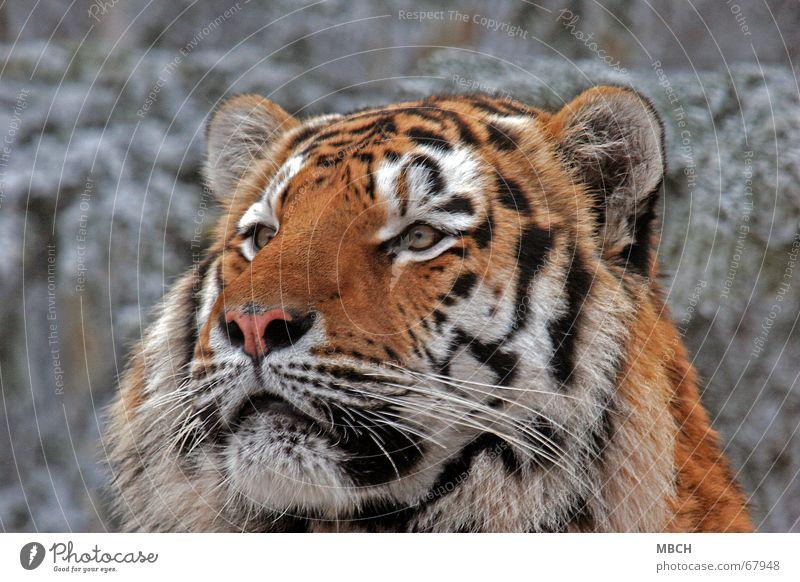 Fasziniert Tiger Tier Katze Raubkatze schwarz weiß Fell Muster Streifen orange beobachten Blick Ohr Auge Nase Schnee Wildtier