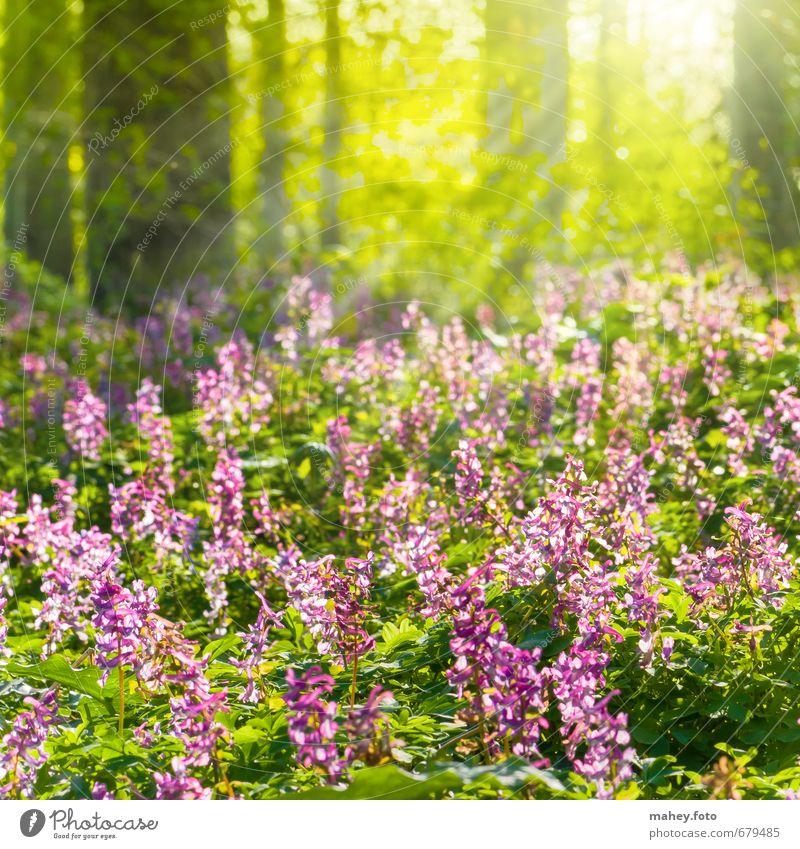 Frühlingssonnenstrahlen Umwelt Natur Pflanze Schönes Wetter Baum Blume Blüte Wildpflanze Lerchensporn Blütenpflanze Wald atmen Blühend Duft leuchten Wachstum