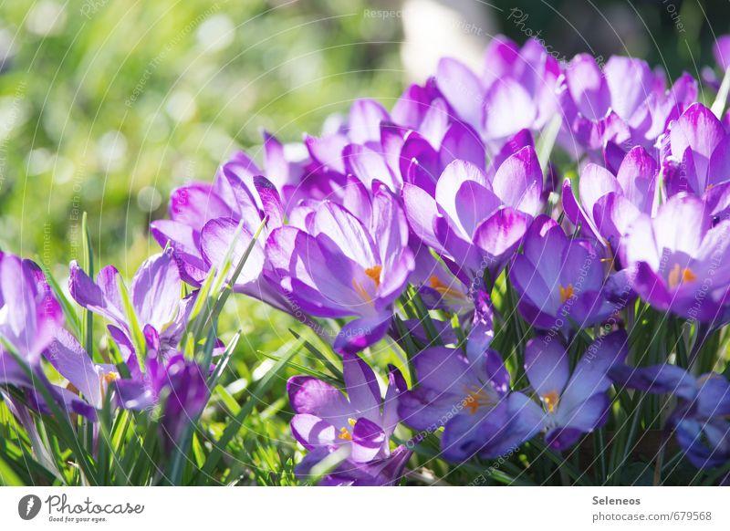 Geschlossene Gesellschaft Umwelt Natur Pflanze Frühling Schönes Wetter Blume Gras Blatt Blüte Krokusse Garten Park Wiese Blühend violett Frühlingsblume