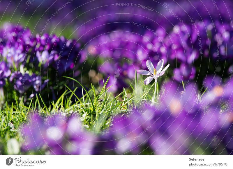 nachzügler Umwelt Natur Erde Frühling Schönes Wetter Pflanze Blume Gras Blüte Grünpflanze Krokusse Garten Park Wiese Blühend nah natürlich Farbfoto