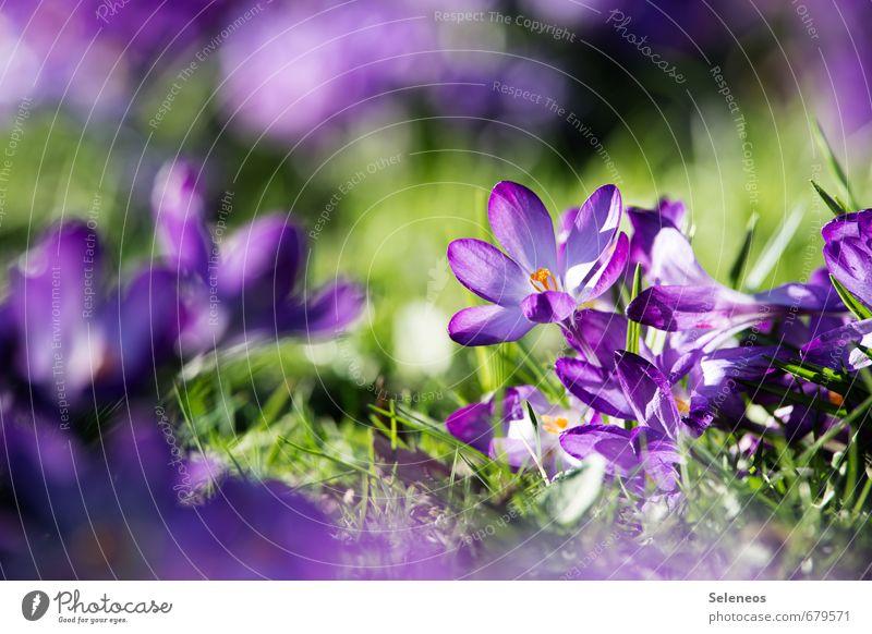Unikat Umwelt Natur Landschaft Frühling Wetter Schönes Wetter Pflanze Blume Gras Blatt Blüte Krokusse Frühblüher Garten Park Wiese Blühend klein nah natürlich
