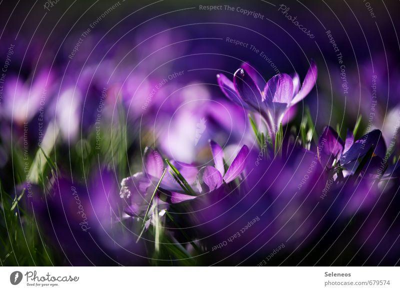 Unikat Umwelt Natur Landschaft Frühling Pflanze Blume Gras Blüte Krokusse Garten Park Wiese Blühend klein nah nachhaltig violett Frühblüher Farbfoto