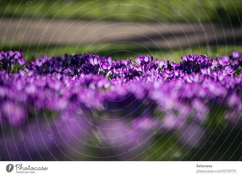Krokusnussfeld Umwelt Natur Landschaft Pflanze Frühling Blume Gras Blüte Krokusse Garten Park Wiese Blühend violett Farbfoto Außenaufnahme Menschenleer Tag