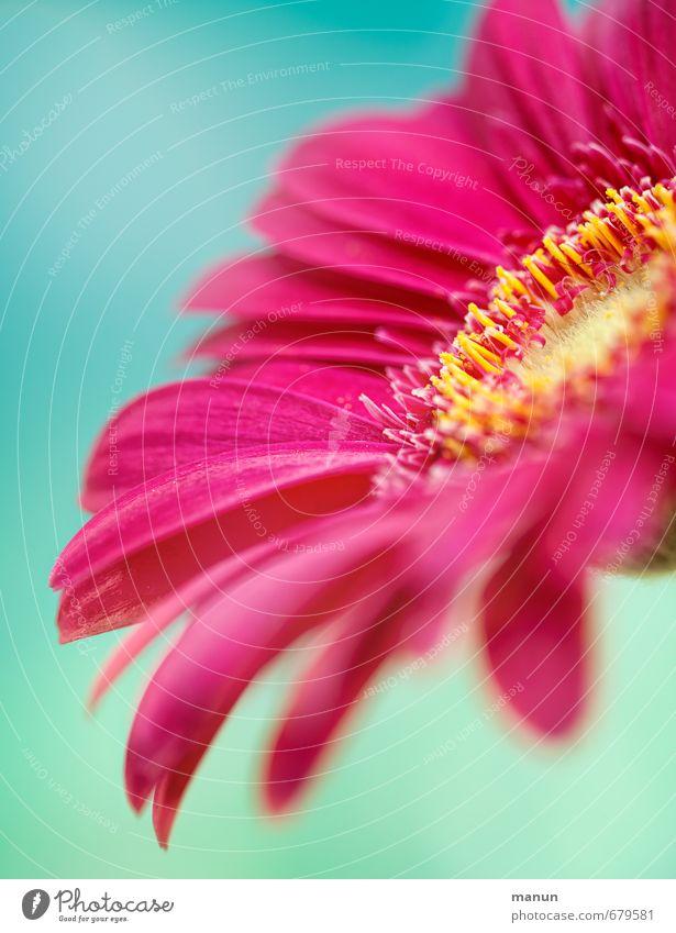 pink Muttertag Geburtstag Natur Frühling Sommer Blume Blüte Gerbera Frühlingsfarbe Blumenstrauß rosa türkis Frühlingsgefühle Farbfoto Menschenleer