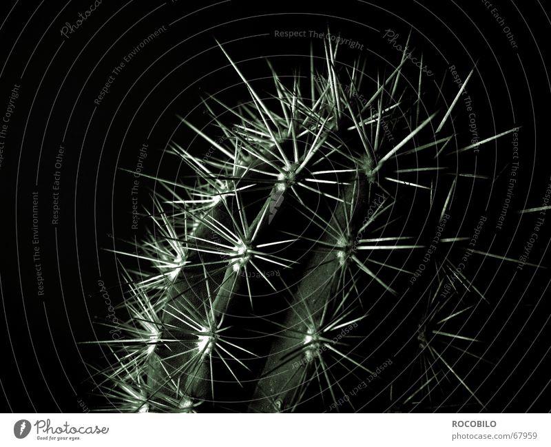 Echinocereus triglochidiatus Pflanze dunkel Spitze Kaktus stachelig Dorn stechen