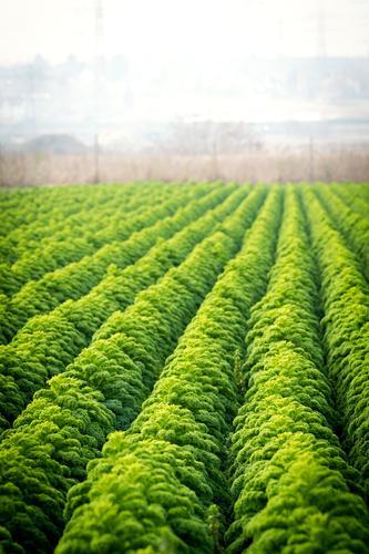 Grünkohl grün Feld Wachstum ästhetisch Ernährung Landwirtschaft viele Bioprodukte Duft Reihe ökologisch Reichtum nachhaltig Biologische Landwirtschaft