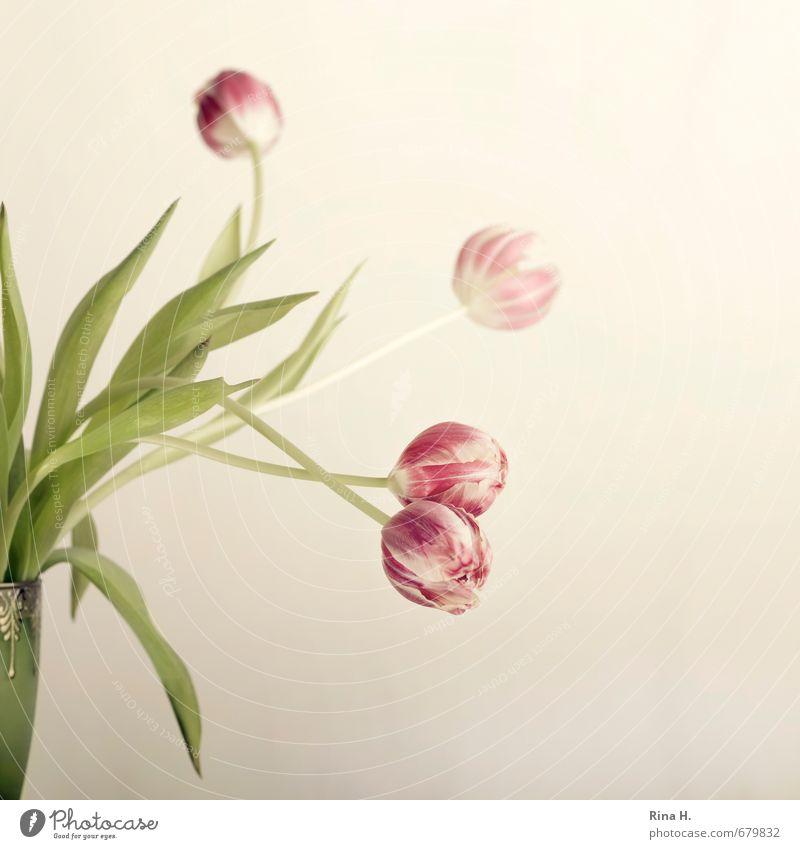 BlitzTulpen Häusliches Leben Blühend verblüht hell grün rosa Vase verblassen Stillleben Quadrat zart Farbfoto Innenaufnahme Studioaufnahme Menschenleer