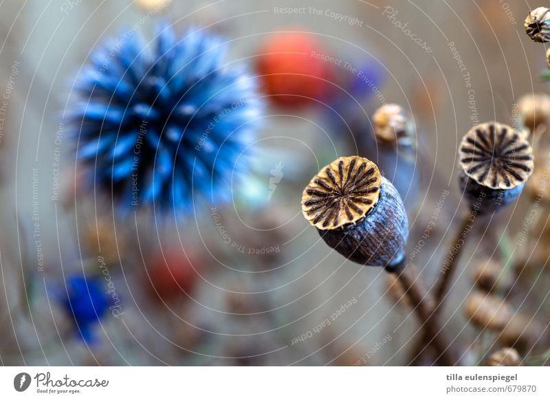 . Pflanze Blume Hanf Distel Distelrosette Blumenstrauß schön natürlich stachelig trocken wild blau Natur Vergänglichkeit Unschärfe Mohnkapsel Trockenblume
