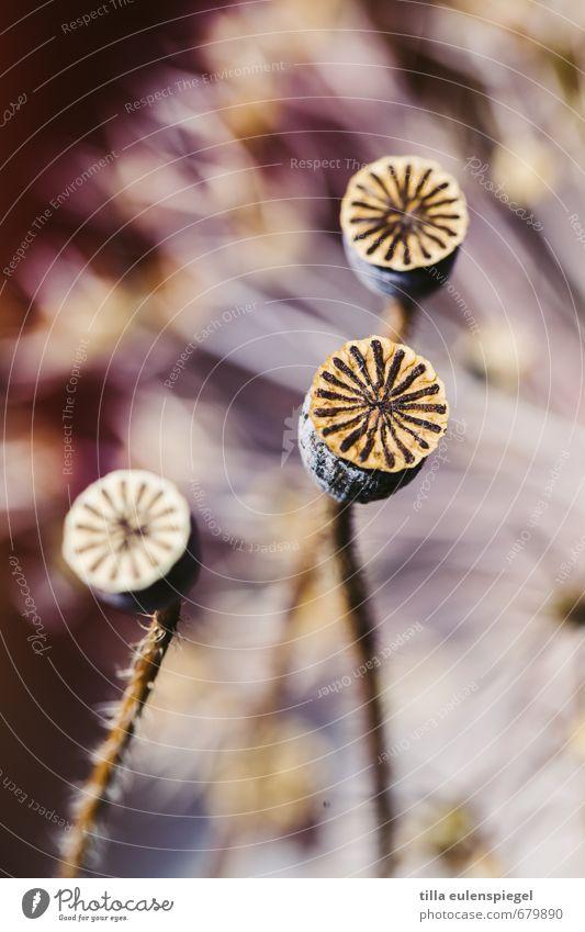 Sternchenfeuer Dekoration & Verzierung Pflanze Blume Blumenstrauß verblüht dehydrieren außergewöhnlich schön natürlich Originalität trocken einzigartig Natur