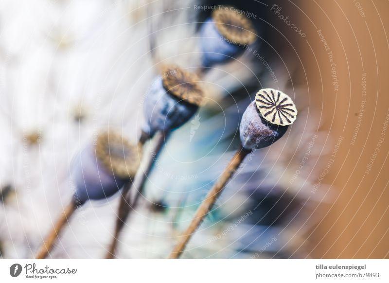 * Natur Pflanze Blumenstrauß natürlich Verfall Vergänglichkeit verblüht trocken Trockenblume Mohnkapsel Farbfoto Unschärfe Schwache Tiefenschärfe