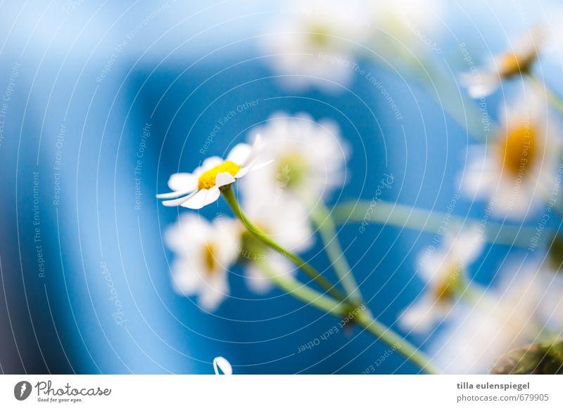 + Pflanze Blume Blumenstrauß natürlich wild blau mehrfarbig Farbe Natur Kamillenblüten Stengel zart zerbrechlich Unschärfe frisch Frühlingsblume Farbfoto