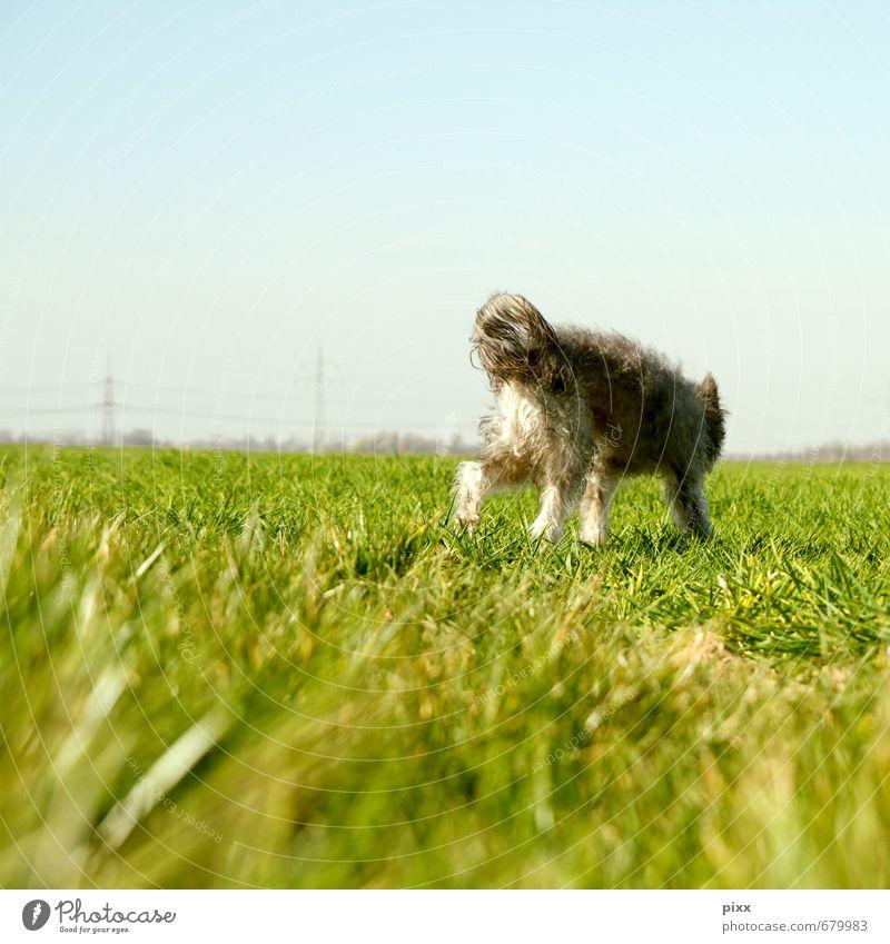 (s)chiller | ich bin dann mal weg Freiheit Sonne Pflanze Himmel Wolkenloser Himmel Schönes Wetter Gras Grünpflanze Wiese Feld grauhaarig Locken Haustier Hund 1