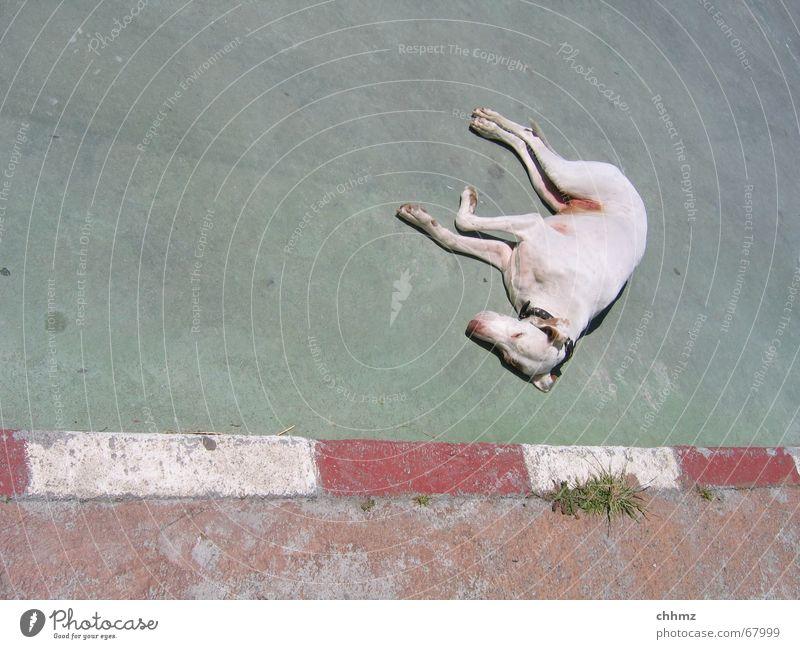 derlebtnoch Hund Halbschlaf Parkplatz Beton Physik Halsband Ecke Bordsteinkante Müdigkeit erstaunt liegen schafen Wärme schnautze Hundehalsband Straßenhund