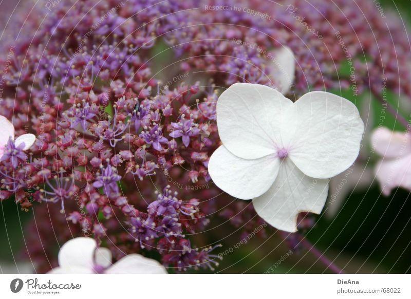 angeknabbert Sommer Natur Pflanze Blume Blüte violett weiß Hortensie Fehler nicht makellos August eingeschnapptes blümlein? saure blume? flower blossom white